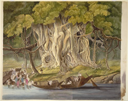 Landscape with huge banyan tree beside a river.